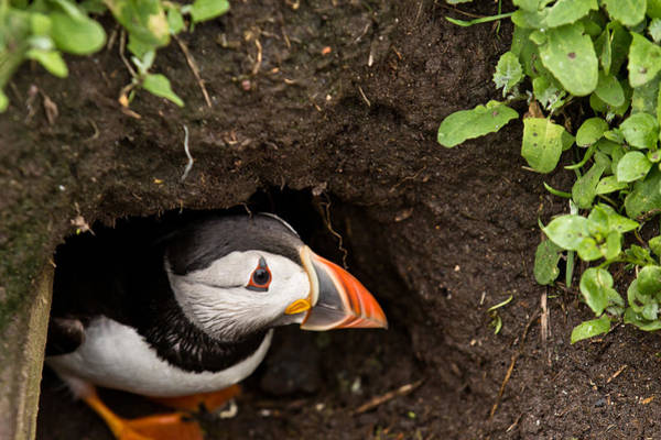 Northumbria Photograph - Peeping Puffin by Justin Albrecht
