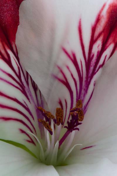 Photograph - Pelargonium by Rob Hemphill