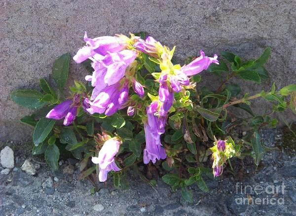 Photograph - Penstemon At Mt. St. Helens by Charles Robinson