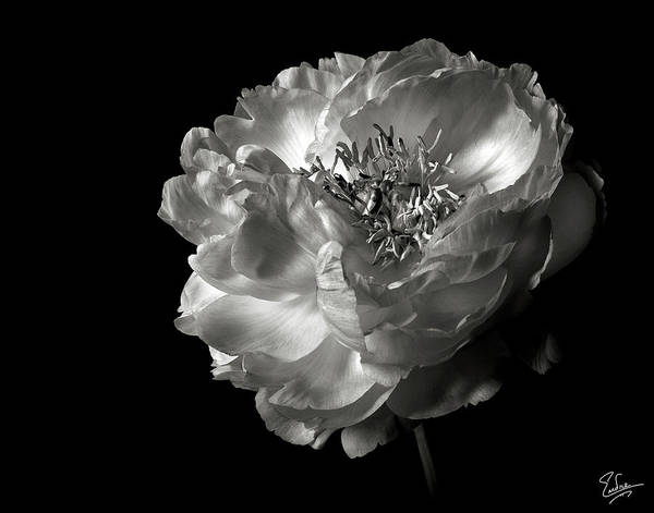 Photograph - Peony In Black And White by Endre Balogh
