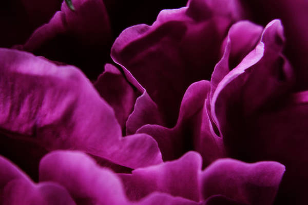 Photograph - Peony Petals by Scott Hovind