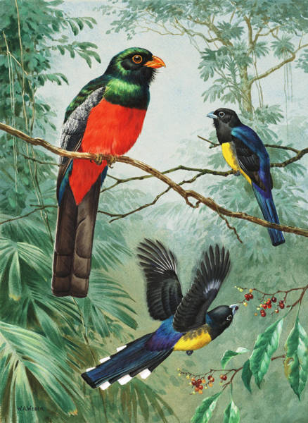 Trogon Photograph - Perched And Flying Trogons Are Seen by Walter A. Weber