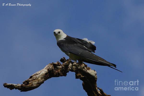 Photograph - Perched Kite by Barbara Bowen