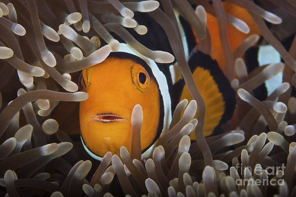 Pomacentridae Photograph - Percula Clownfish In Its Host Anemone by Terry Moore