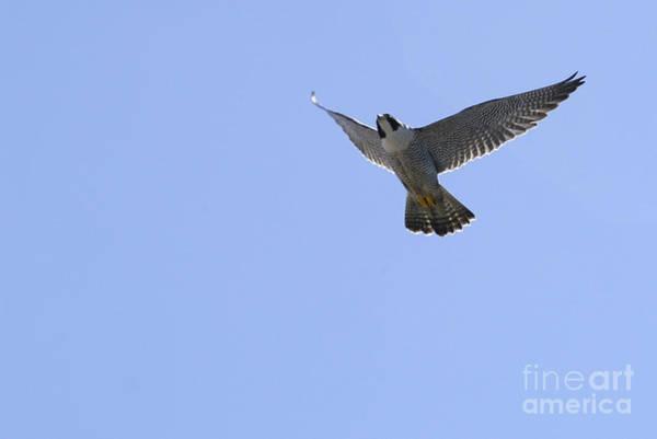 Falconiformes Photograph - Peregrine Falcon by Raul Gonzalez Perez