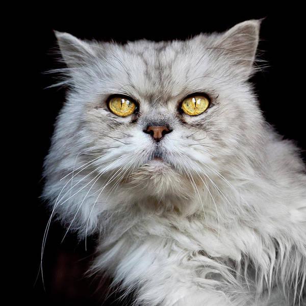 Staring Photograph - Persian Gray Cat by Rogdy Espinoza Photography