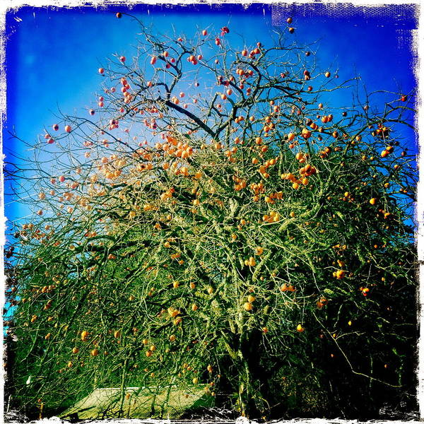 Persimmon Tree Art Print