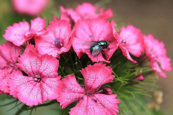 Photograph - Phlox And Fly by Scott Hovind