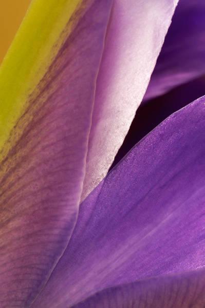 Photograph - Photograph Of A Dutch Iris by Perla Copernik