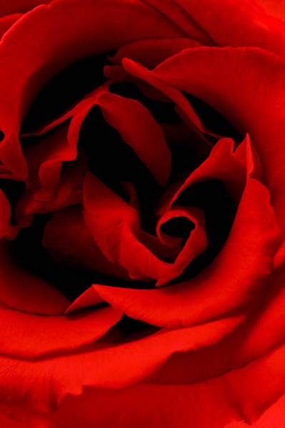 Photograph - Photograph Of A Red Rose by Perla Copernik