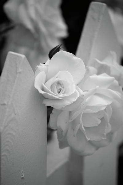 Wall Art - Photograph - Picket Rose by Peter Tellone