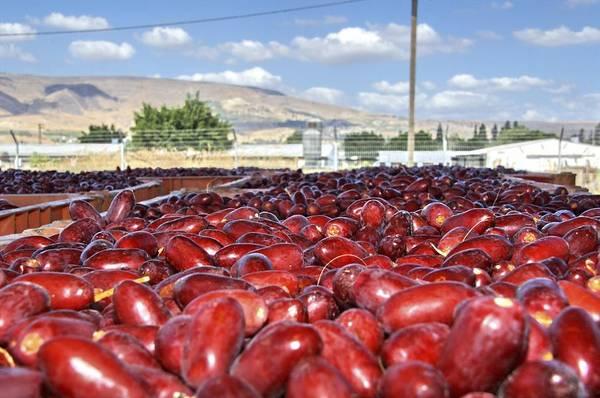 Kibbutz Photograph - Picking Dates by Photostock-israel