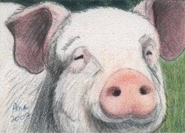 Drawing - Pig - Aceo by Ana Tirolese