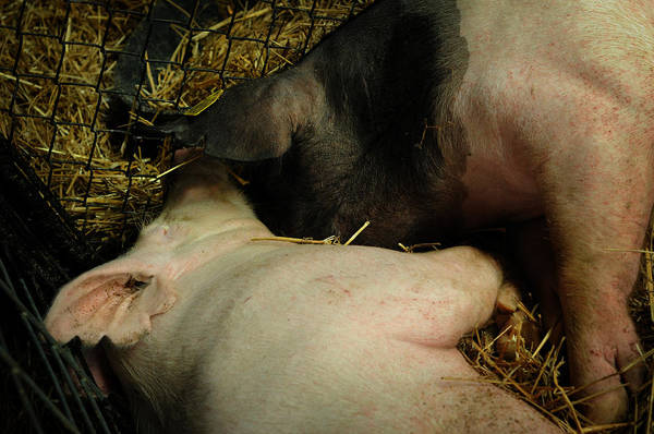 Photograph - Pig Love by Rebecca Sherman