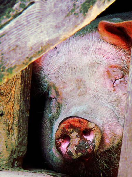 Photograph - Pig Sleeping by Susan Savad
