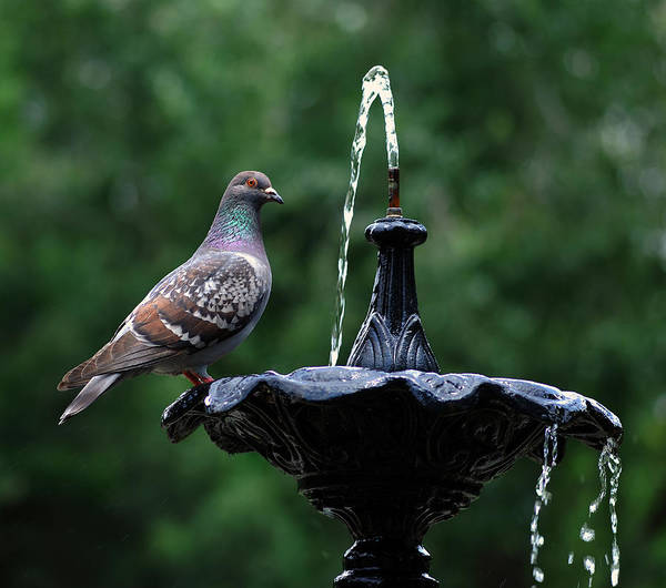 Photograph - Pigeon by Dragan Kudjerski