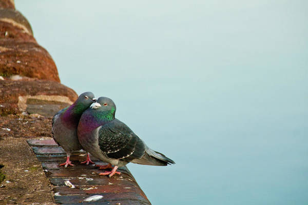 Togetherness Photograph - Pigeons In Love by Image by J. Parsons