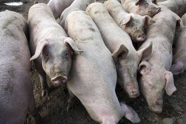Pigpens Photograph - Pigs by Victor De Schwanberg