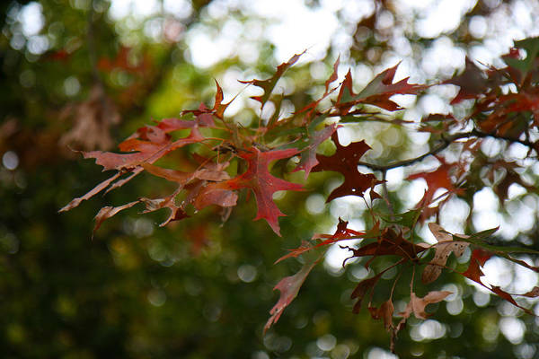 Photograph - Pin Oak In Autumn by Denise Beverly