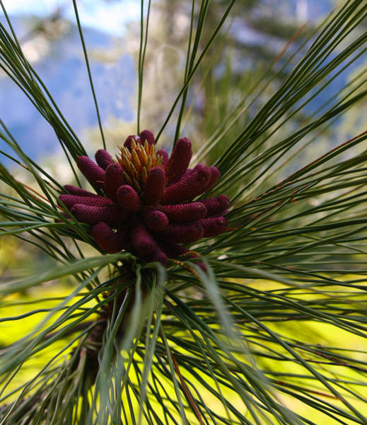 Photograph - Pine Blossoms by Tony and Kristi Middleton