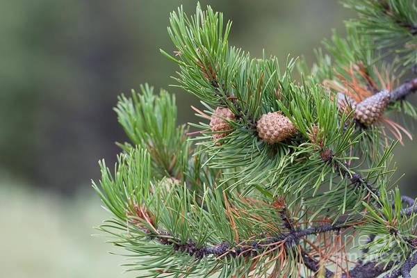 Photograph - Pine Tree by Cindy Singleton