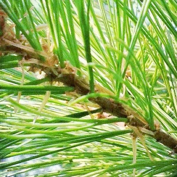 Green Photograph - Pine Tree From My Garden  by Irina Moskalev