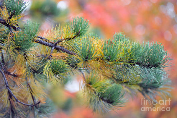 Photograph - Pine Tree In Fall by Dan Friend