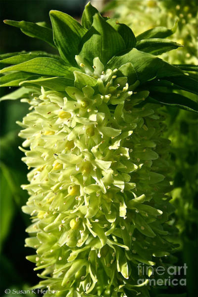 Pineapple Lily Photograph - Pineapple Lily by Susan Herber