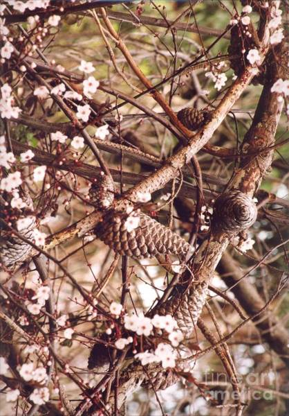 Photograph - Pinecones And Cherry Blossoms by Cynthia Marcopulos