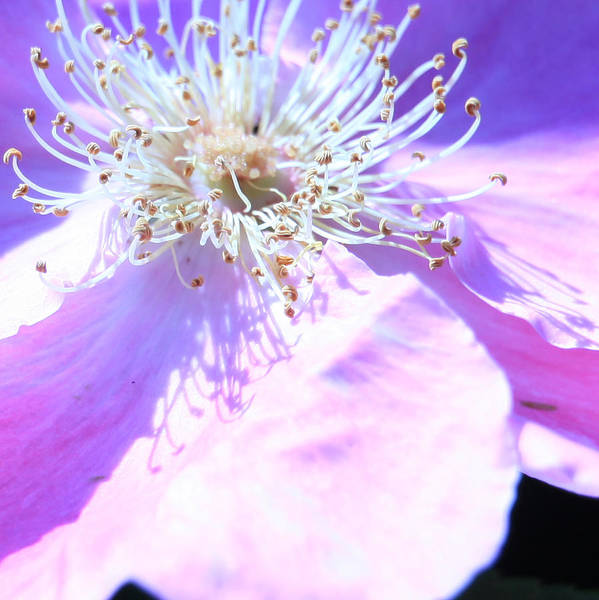 Photograph - Pink And Blue Flower by Donna Corless