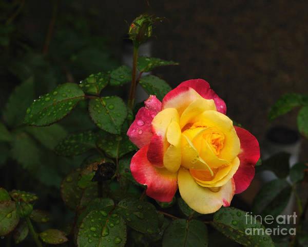 Wall Art - Photograph - Pink And Yellow Rose 5 by Edward Sobuta