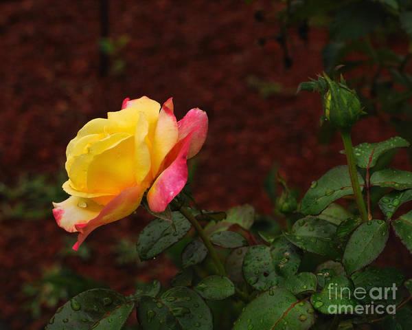 Wall Art - Photograph - Pink And Yellow Rose 6 by Edward Sobuta