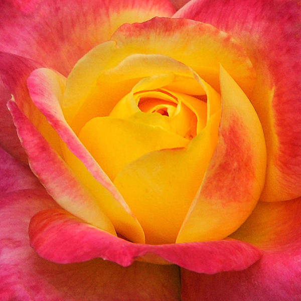 Wall Art - Photograph - Pink And Yellow Rose 8 by Edward Sobuta