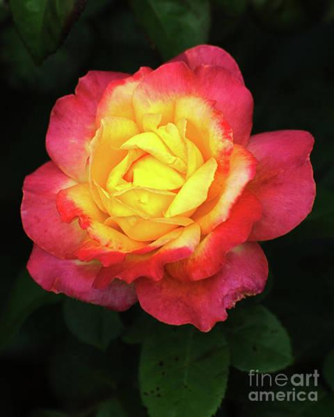 Wall Art - Photograph - Pink And Yellow Rose.4 by Edward Sobuta