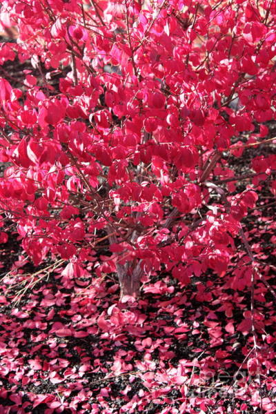 Photograph - Pink Autumn Leaves by Carol Groenen