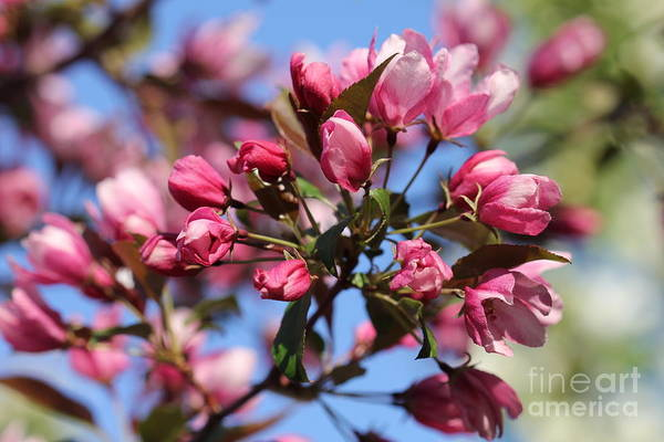 Photograph - Pink Blooms Cluster Crabapple by Donna L Munro