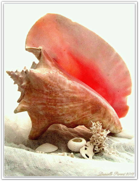 Photograph - Pink Cong Shell by Danielle  Parent