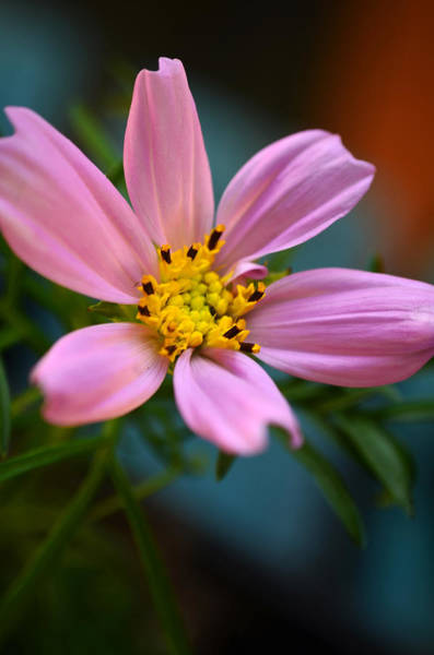 Photograph - Pink Cosmo by Lori Tambakis