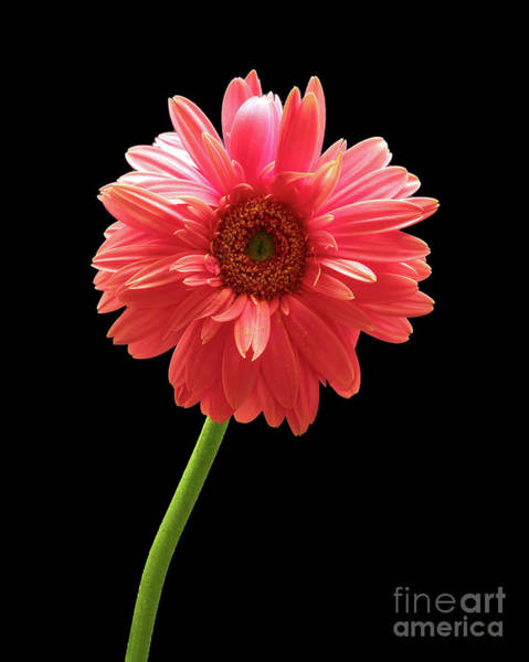 Photograph - Pink Gerbera by Kate McKenna