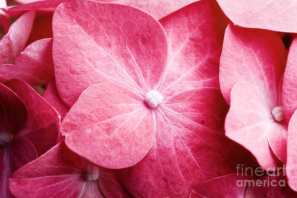 Wall Art - Photograph - Pink Hortensia by Kati Finell