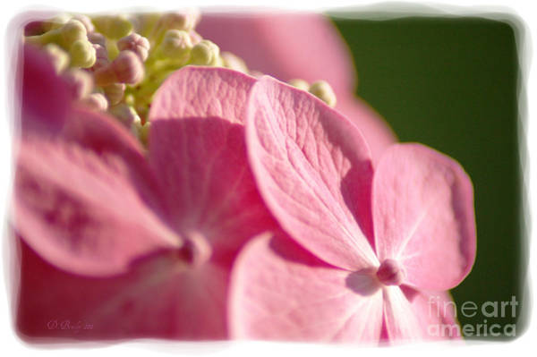Photograph - Pink Hydrangea by Donna Bentley