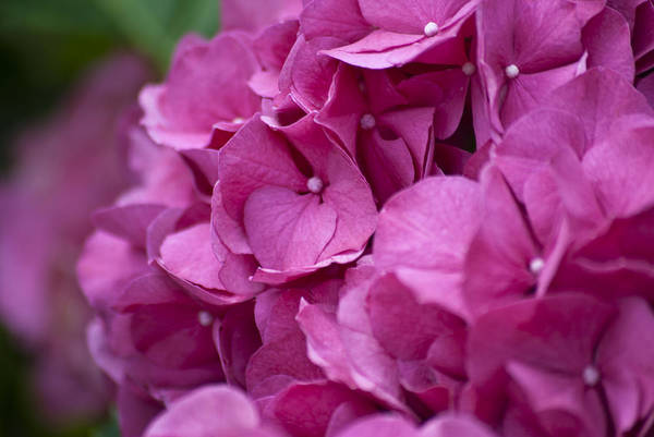 Photograph - Pink Hydrangea by Jason Pryor