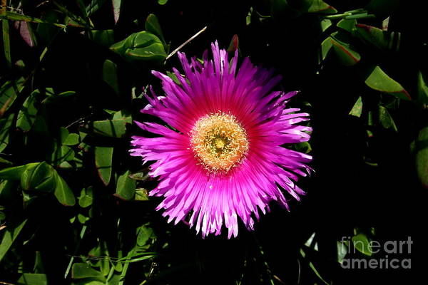 Photograph - Pink Ice Plant Flower . Carpobrotus Edulis Succulent . 7d15070 by Wingsdomain Art and Photography