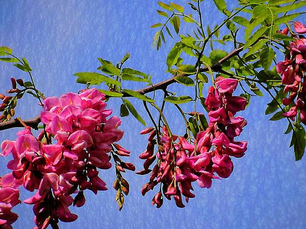 Photograph - Pink Locust Blossoms by Beth Akerman