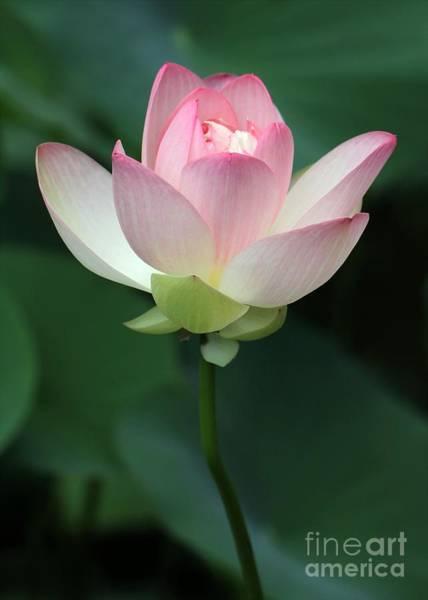 Photograph - Pink Lotus Blooming by Sabrina L Ryan