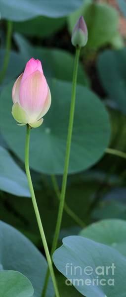 Photograph - Pink Lotus Buds by Sabrina L Ryan