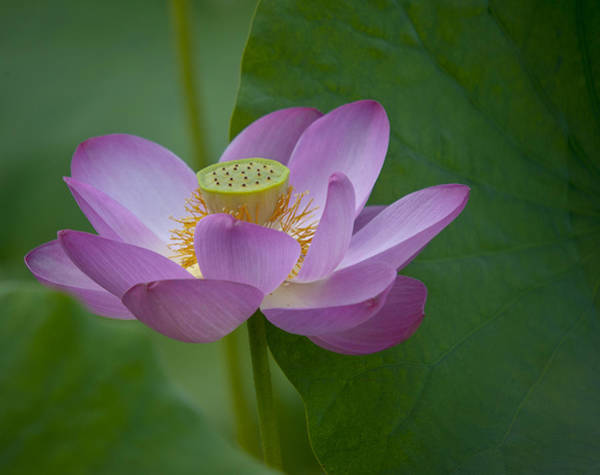Photograph - Pink Lotus by Rick Hartigan