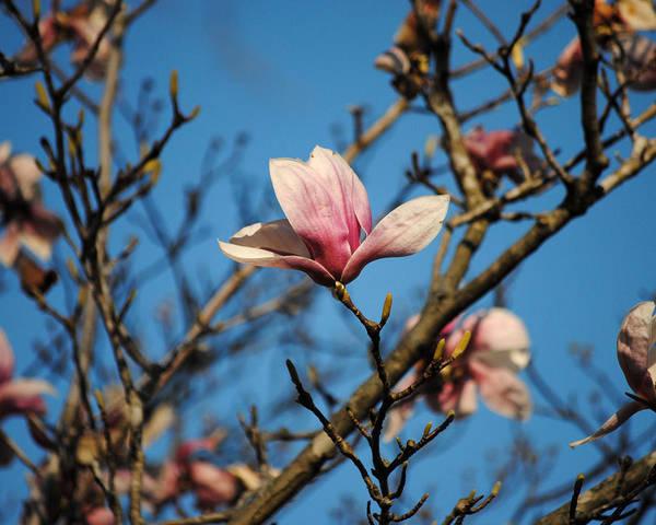 Photograph - Pink Magnolia Flower by Jai Johnson