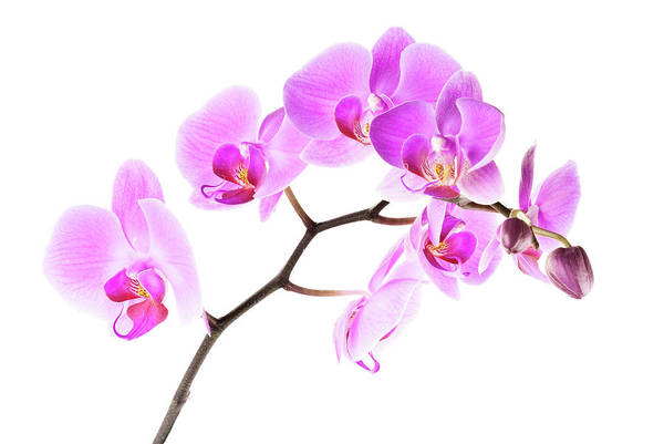 Photograph - Pink Orchids 2 by  Onyonet  Photo Studios