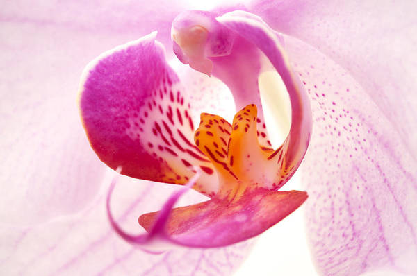 Carpel Photograph - Pink Phalaenopsis by Fabrizio Troiani